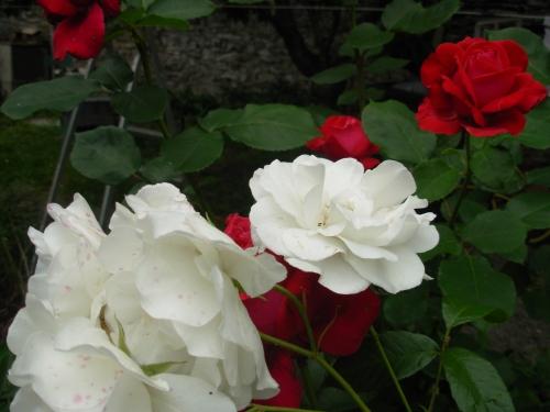 roses 4.JPG