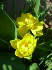 tulipes jaune.JPG