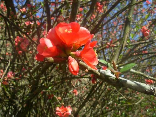 fleur pommier.JPG